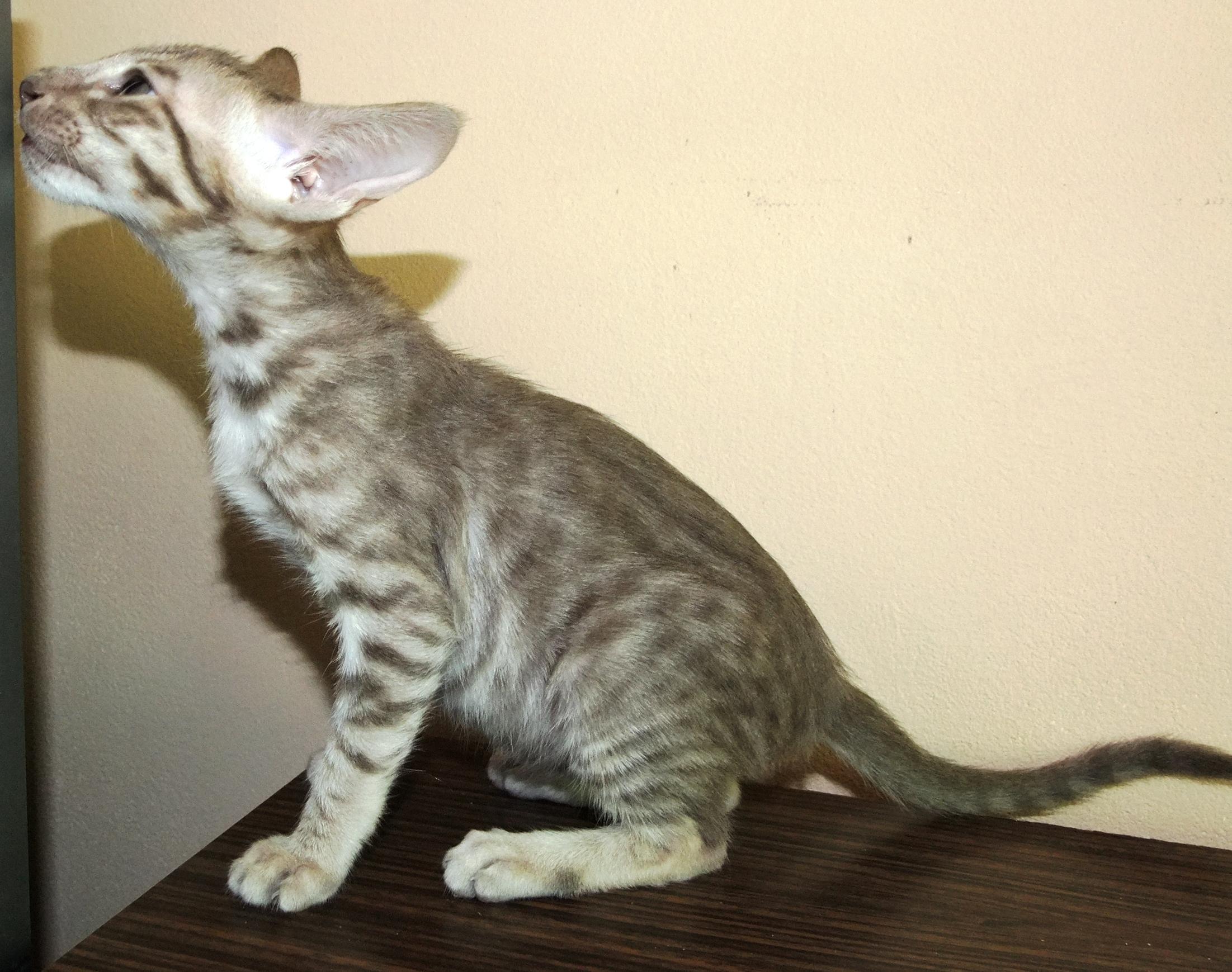 Питомник кошек elite brand - our cats